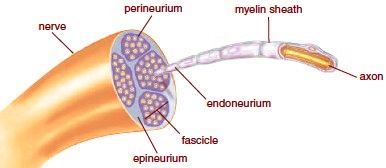 Image result for image of a peripheral nerve in cross section