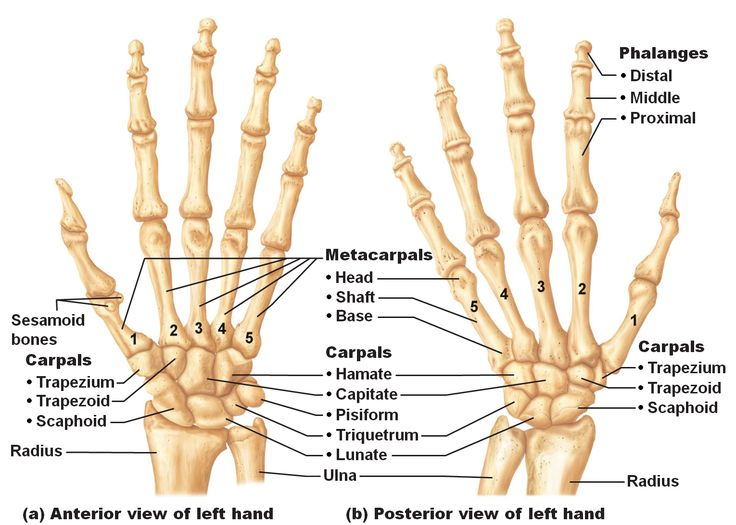 Image result for image of human hand bones
